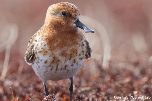 A Spoon-billed sandpiper. One of the world's most critically endangered species, the 6-inch-tall (15 centimeters) bird faces extinction within 10 years.CREDIT: Gerrit Vyn/Cornell Lab of Ornithology