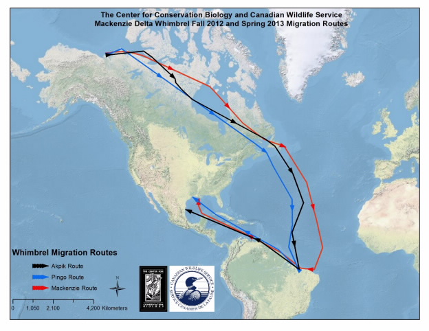 Map of migration route for 3 whimbrels marked on breeding ground in western Canada. Recent flight from Brazil to Gulf of Mexico was previously undocumented. Photo by CCB.